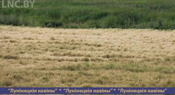 Сначала засуха, а потом заморозки внесли свои коррективы в вес будущего урожая