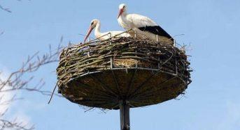 Как оборудовать искусственные гнезда аистов?