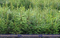 Установлена стоимость новогодних елок